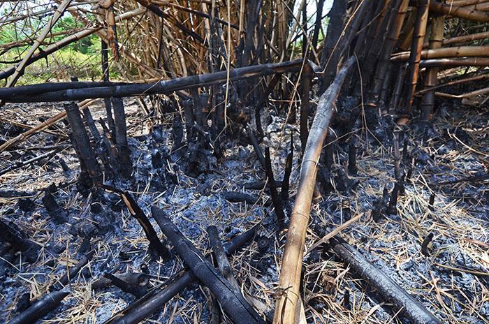 De acuerdo Díaz, agrónomo de la EEA en Gurabo, el fuego es más difícil de controlar o apagar cuando en los bambúes. (Ricardo Alcaraz / Diálogo)