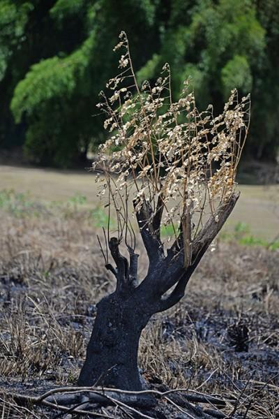 Algunas ramas secas se aferran a un tronco quemado. (Ricardo Alcaraz / Diálogo)