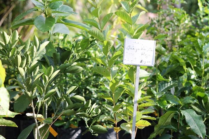 Plantas frutales que llevó la Tiendita del Jardín Botánico de la UPR. (Michelle Estades)