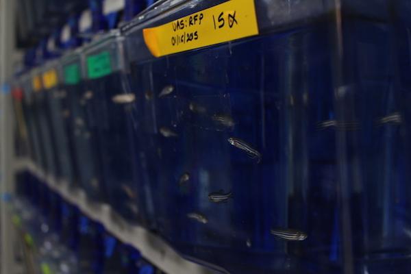 Parte de los peces en el laboratorio. (Ronald Ávila/Diálogo)