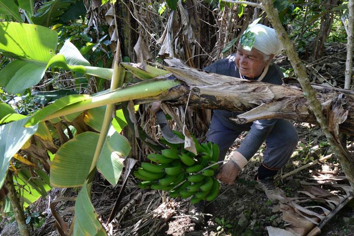 Luz Celenia cortando un racimo de guineos. (Ricardo Alcaraz / Diálogo)