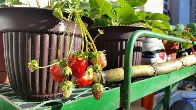 Imagen de un pasado taller de cultivo de fresas, ofrecido por Marilyn Rosa. (suministrada)