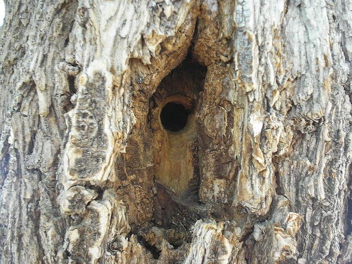El abejón excava su nido sobre ramas muertas o espeques de madera.