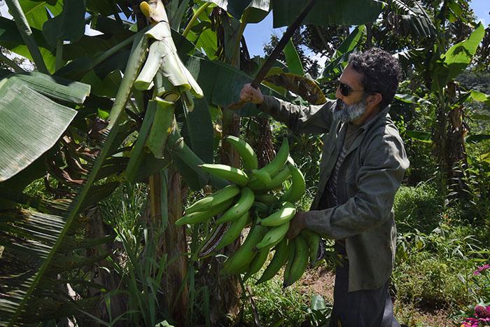 Tras cortar los frutos, la planta se corta en pedazos y se deja en el mismo espacio, con el fin de devolverle los nutrientes a la tierra, explicó el Feliciano Alvarado.