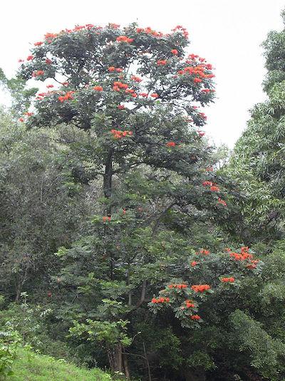 """En nuestra isla se le conoce con el nombre de """"Meaíto"""". (Forest & Kim Starr-Wikipedia)"""