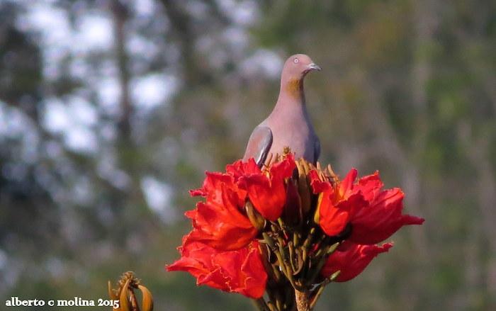 Las flores del Tulipán Africano son utilizadas por aves en peligro de extinción como la Paloma Sabanera. (Alberto Molina Opio)