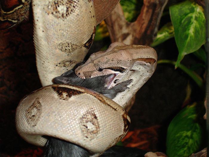 boa-constrictor-wikipedia