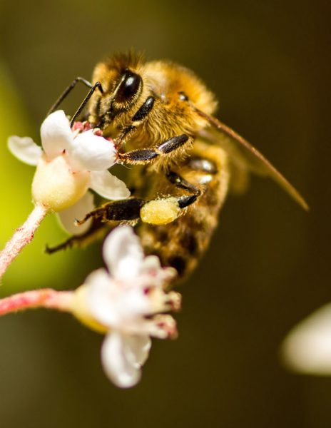 honey bee on flower with pollen collected on rear leg