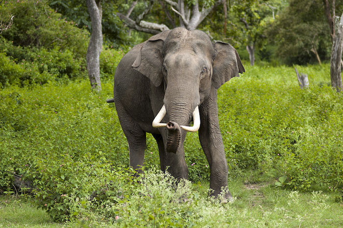 elefante-foto-yathin-s-krishnappa-wikipedia